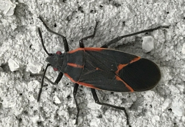 box-elder-bug-header